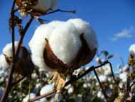 cotton-boll