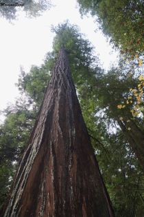 tall coast redwood