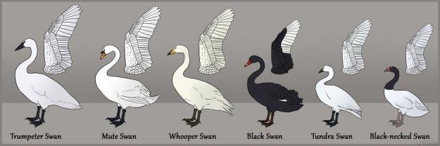 swanspeciesidentifer
