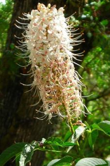 CAbuckeye-flowerspike
