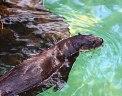 California_River_Otter